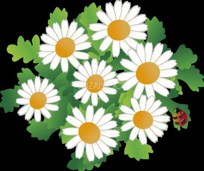 ノースポールの花とてんとう虫の無料イラスト 冬126月63549 素材good