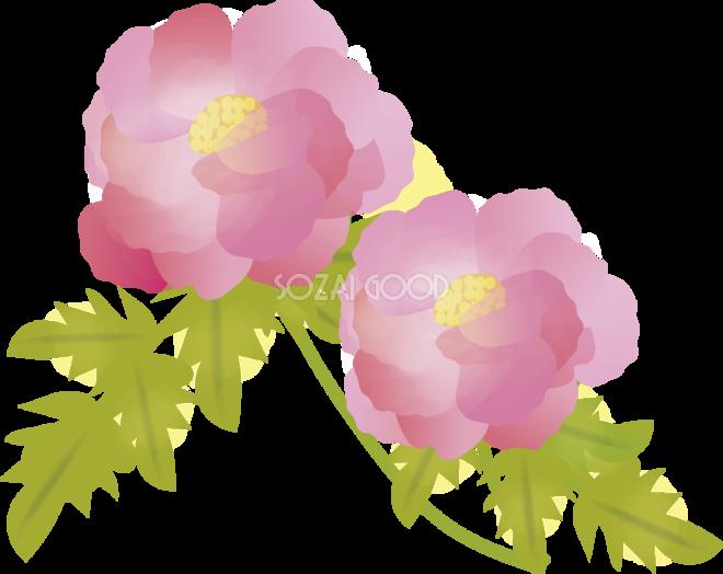牡丹 ぼたん 花の無料イラスト 春 4月 5月 素材good