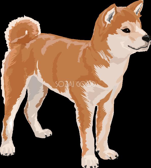 柴犬のリアルな犬の無料イラスト68155 素材good