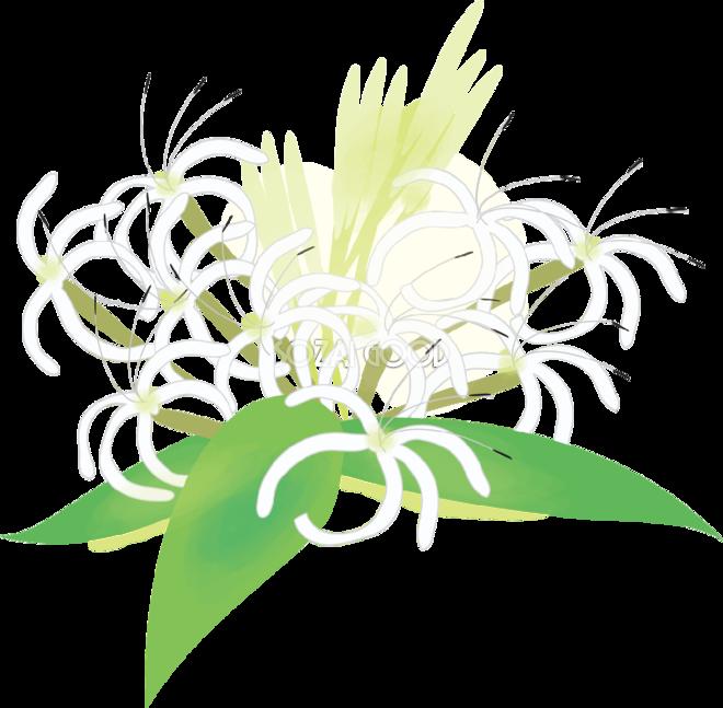 浜木綿はまゆう花の無料イラスト夏7月 9月72303 素材good