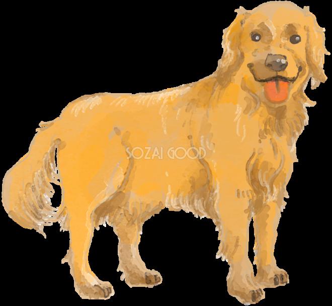 ゴールデンレトリバー立ち姿犬のリアルかっこいい無料イラスト74281