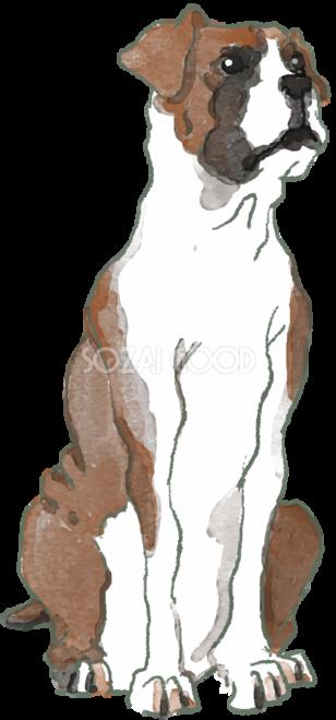 ボクサー 座り姿 犬のリアルかっこいい無料イラスト74554 素材good