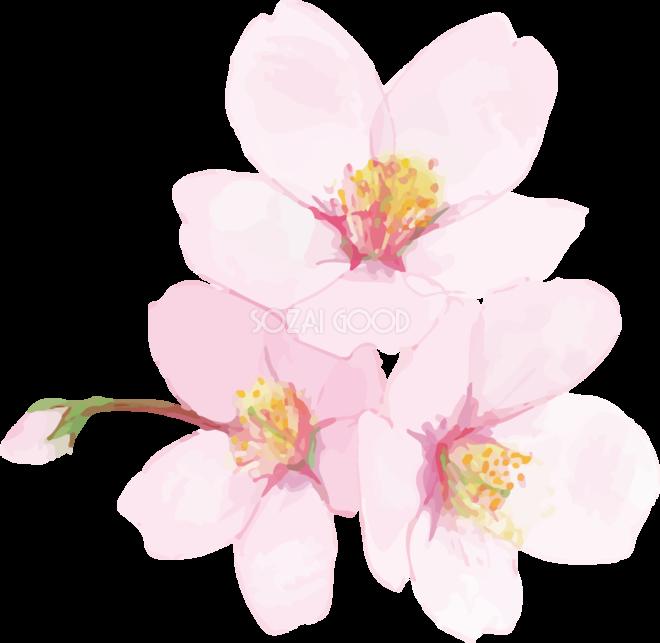 リアル綺麗な桜・花びらイラスト 3つの花と蕾飾り背景なし(透過)無料フリー83443