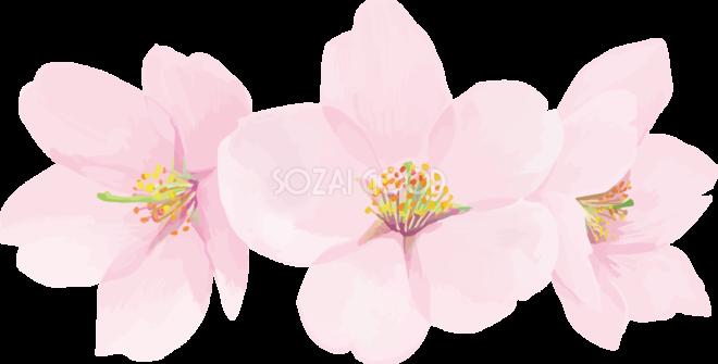 リアル綺麗な桜花びらイラスト 3つの花飾り背景なし透過無料フリー