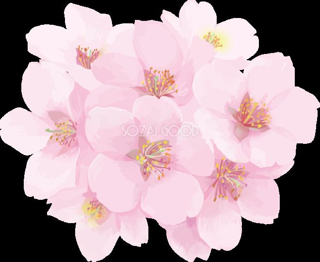 リアル綺麗な桜花びらイラスト 満開ワンポイント飾り背景なし透過
