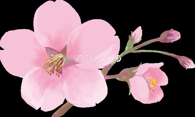 リアル綺麗な桜の枝イラスト 1輪の花と咲きそうな蕾飾り背景なし透過