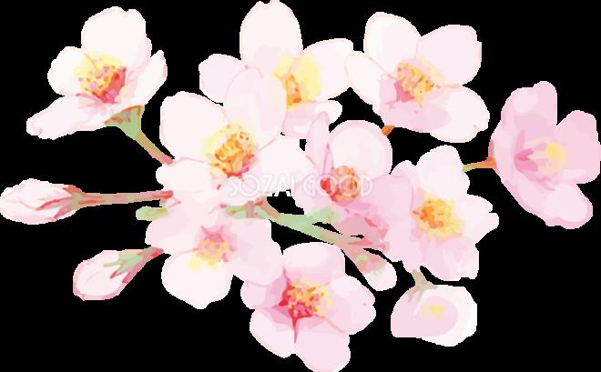 リアル綺麗な桜の枝イラスト 開花後のキレイに咲く飾り背景なし透過