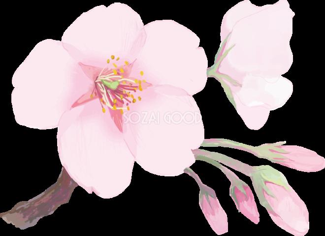 リアル綺麗な桜の枝イラスト開花後の蕾の飾り背景なし透過無料フリー