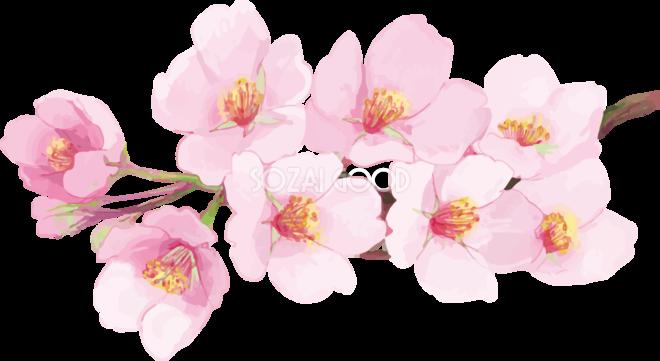 リアル綺麗な桜の枝イラスト 満開飾り背景なし透過無料フリー83462