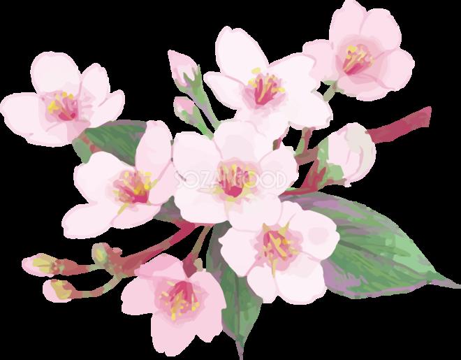 リアル綺麗な桜の枝イラスト 緑の葉多め飾り背景なし透過無料フリー