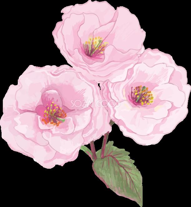 リアル綺麗な八重桜の枝イラスト 3つの花飾り背景なし透過無料フリー