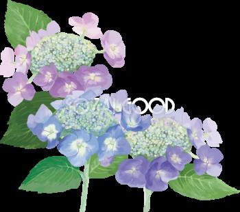 おしゃれ綺麗な紫と青のガクアジサイのアジサイイラスト(梅雨)無料